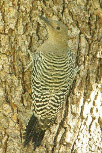 Gila Woodpecker. Female.