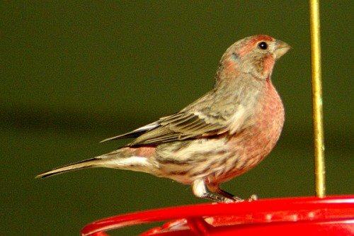 House Finch. Male.