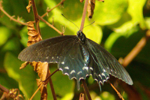 Pipevine Swallowtail (Battus philenor). These guys do NOT like to sit still! Today, I was lucky. Taken in December!