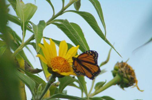 Monarch on Mexican Sunflower. Taken in December!