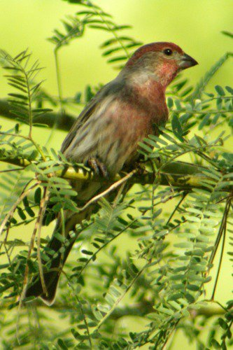 House Finch, male (Carpodacus mexicanus).