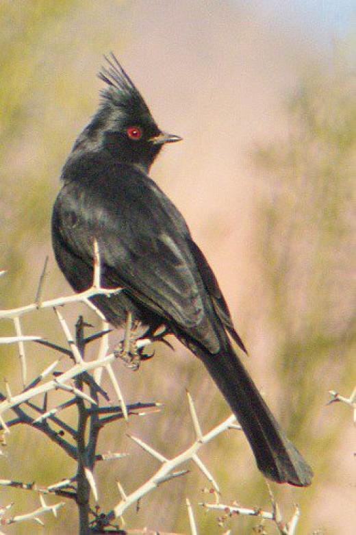 Male Phainopepla (Phanopepla nitens). I often hear them before I see them.