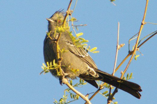 Female Phainopepla. I think she thought she was hiding, but her soft song gave her away.