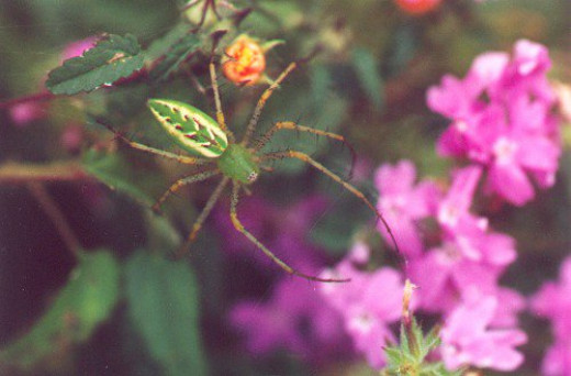 Green Lynx Spider up close, on Desert Sand Verbena (Abronia villosa). Not taken at Tohono Chul.