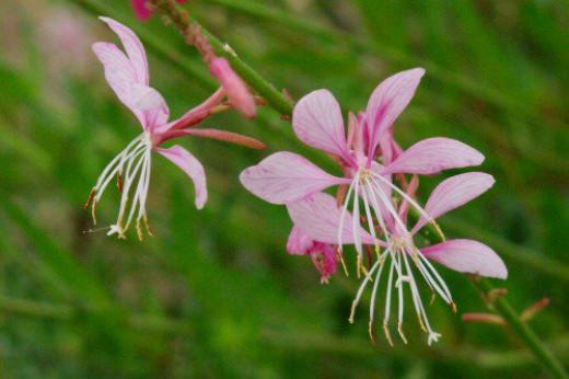 Beeblossom (Gaura lindheimeri).