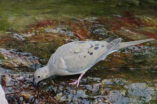 Mourning Dove getting a drink.