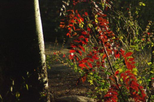 Yep, we have fall colors! These are brilliant in the afternoon sun.