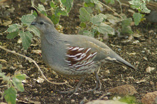 Female Gambel's Quail (Callipepla gambelii). Many families live in the park. Their soft call is soothing.