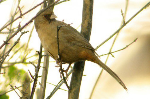 Abert's Towhee (Pipilio aberti). They like bugs they find in leaf litter, so they don't commonly sit in trees.