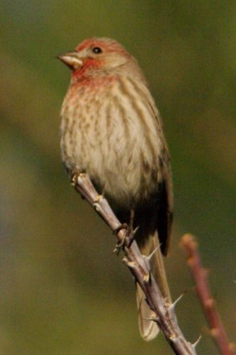 House Finch sitting on Ocotillo (Fouquieria splendens), a common desert plant.