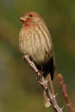 House Finch sitting on Ocotillo (Fouquieria splendens), a common desert plant.