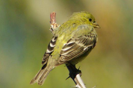 Lesser Goldfinch female.