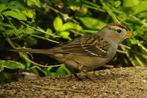 Young White-crowned Sparrow.