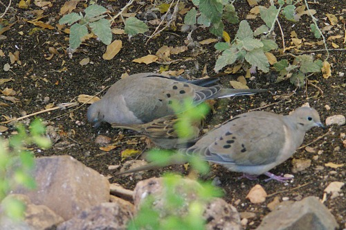 Mourning Doves (Zenaida macroura). They're eating seeds dropped from the seed sock.