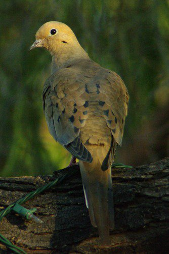 The Mourning Dove woke up. Notice the Christmas lights on the tree branch.