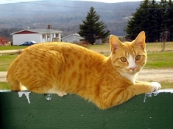 A beautiful orange cat rests on a green fence.