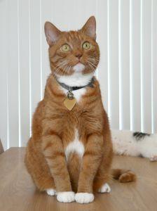 Orange cats are eager companions.