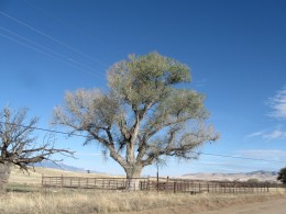 The big sycamore tree along a lonely stretch of road near the de Niza monument in southern Arizona.