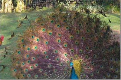 Peacock in Kauai