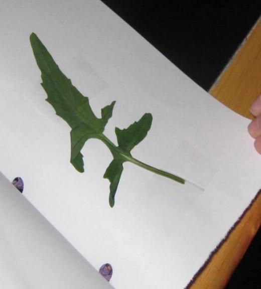Dandelion leaf.