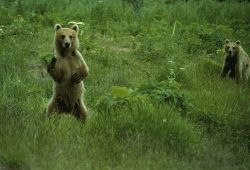 Bear looking somewhat fierce.