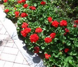 Geraniums in bloom.