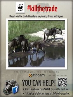 Wildebeests drinking at Nkorho
