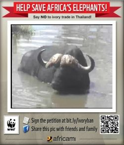 Buffalo in the water at Elephant Plains