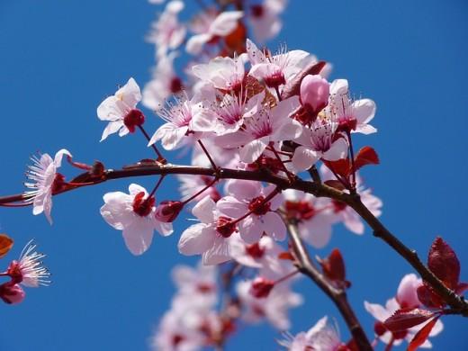 Cherry blossom tree in full bloom.