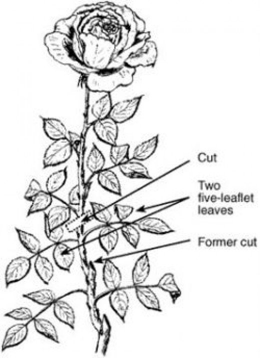 Rose cutting Illustration