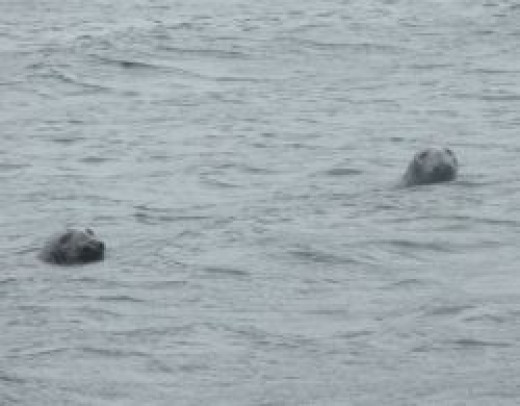 Nova Scotia Bay of Fundy Seals