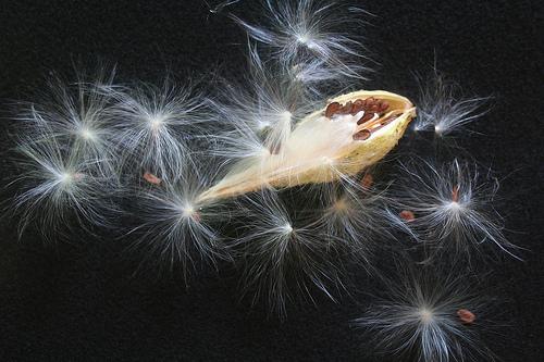 Milkweed pod, by harryalverson