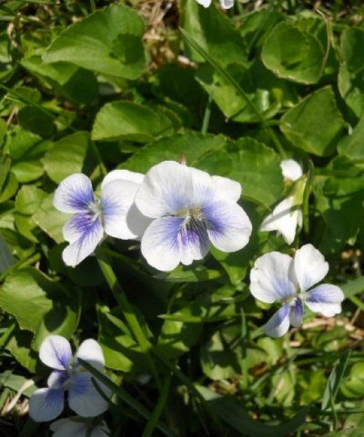 Northern White Violets, or Viola Macloskeyi (viola pallens)