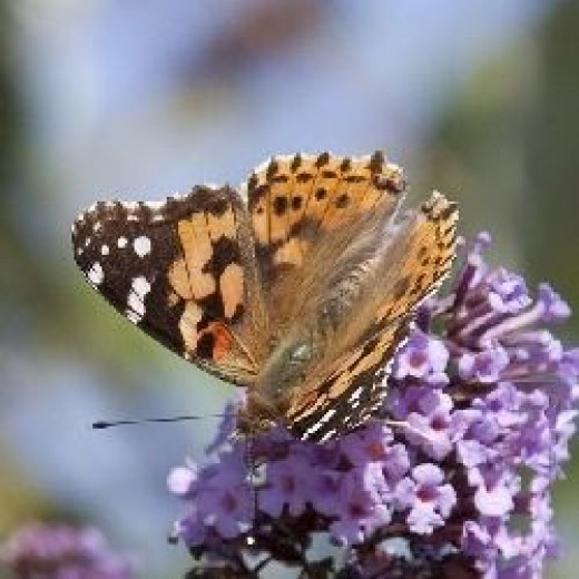 Painted Lady Butterfly on Lilac