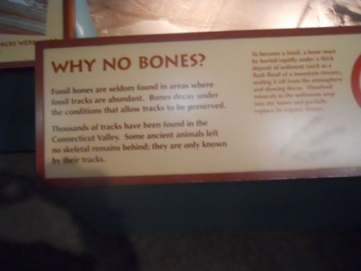 """Why No Bones"" explains why bones were not found with the footprints.   Each is preserved under different conditions."