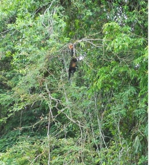 Spider Monkey in Costa Rican Rain Forest