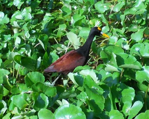 Northern Jacana in bed of water hyacinth