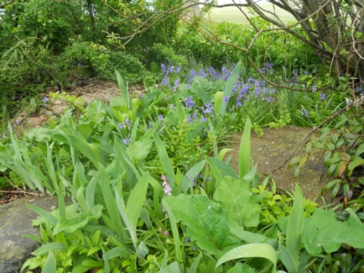 A nice group of bluebells in May 2012