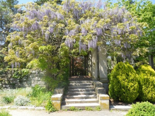 The wisteria on the arbor In bloom in May.