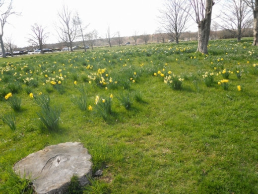 Across to the parking lot from the front of the stable.  Daffodils in bloom in April.