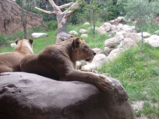 Lions at the John Ball Zoo, photo by Rich T. Anderson