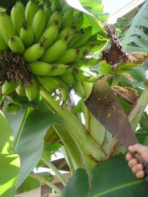 Harvesting Bananas - the fun fruit!