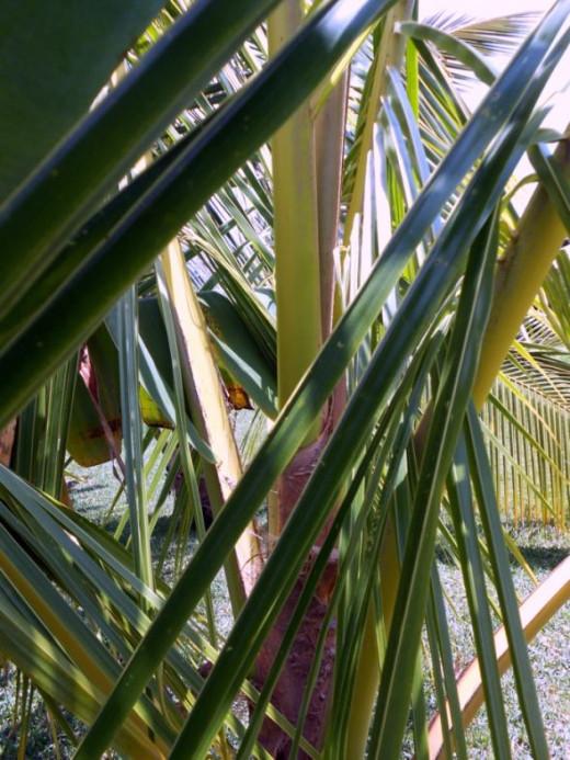 Green Coconut Fronds