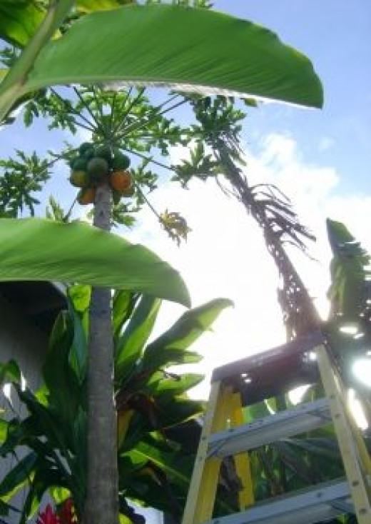 Picking Fresh Papaya for Breakfast
