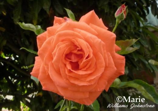 Orange rose flower in full bloom gorgeous color