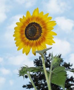 sunflower meaning. Black Bedroom Furniture Sets. Home Design Ideas