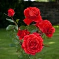 Beautiful Images of Red Roses in Wales