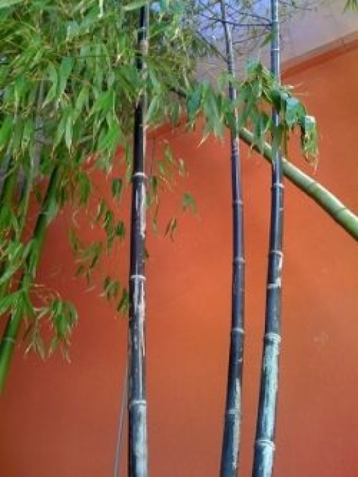 Black bamboo - Image copyright L Kathryn Grace - All rights reserved