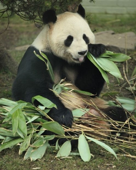 Giant panda eating - a morgueFile free photo