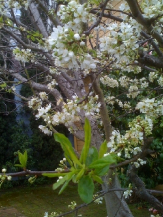 Apple tree in bloom on garden path